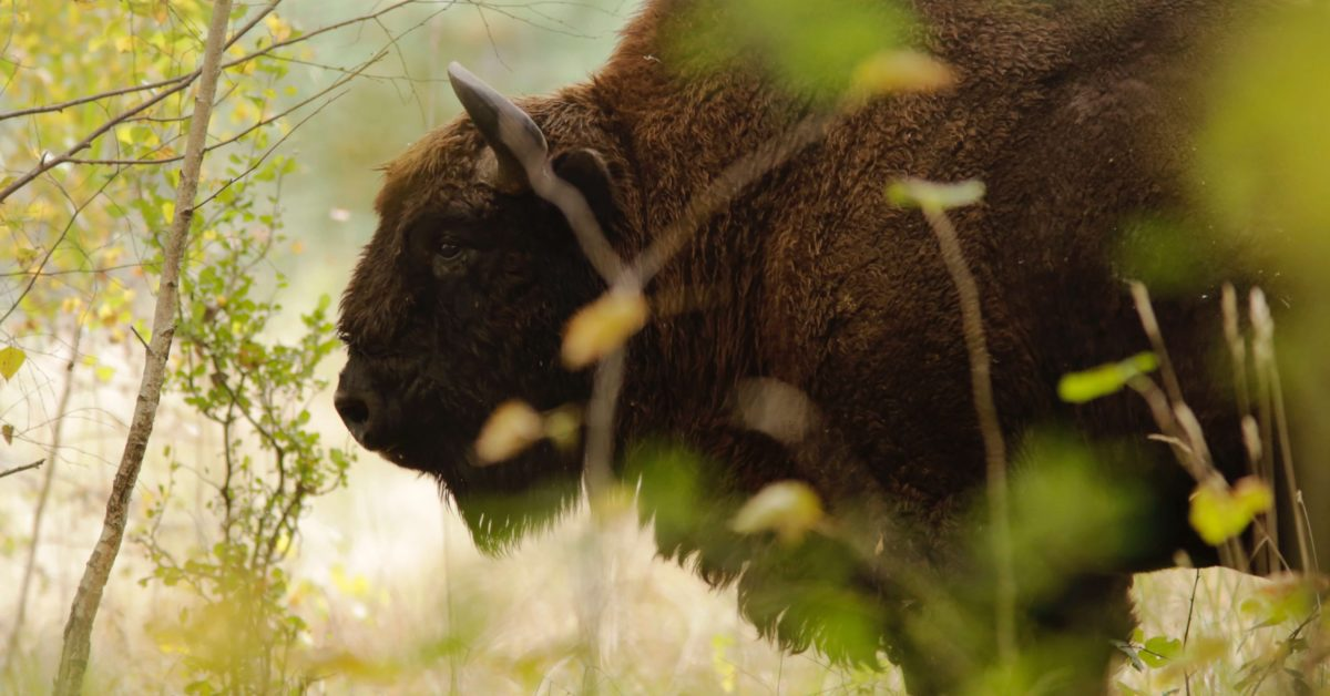 A bison in its natural habitat | Pexels - Nicolas Petit