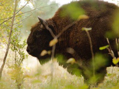 A bison in its natural habitat   Pexels - Nicolas Petit